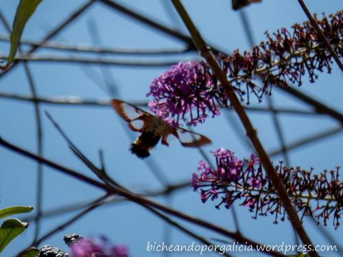 Macroglossum stellatarum - esfinge colibrí