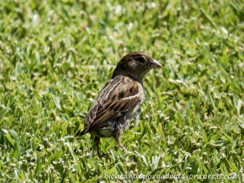 Passer domesticus - gorrión común